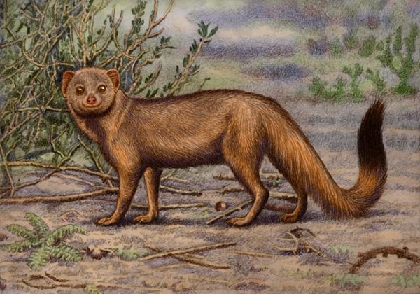 Slender Mongoose by Willem