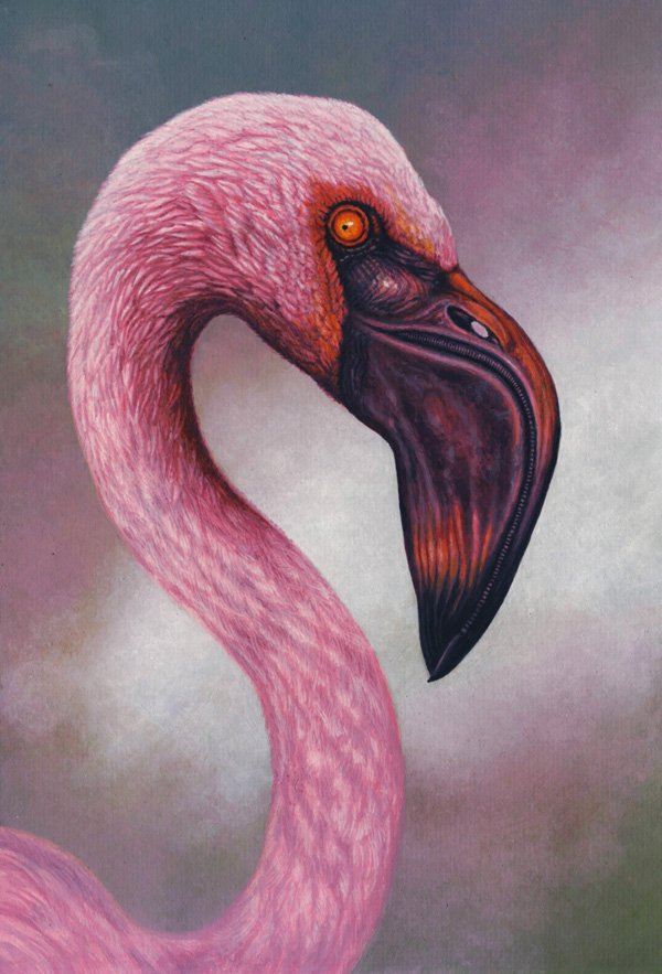 Lesser flamingo by Willem