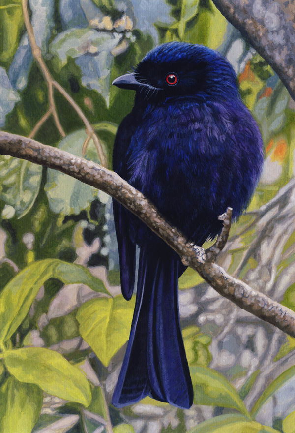 A deep blue bird called the Square-Tailed Drongo, painted by Willem.