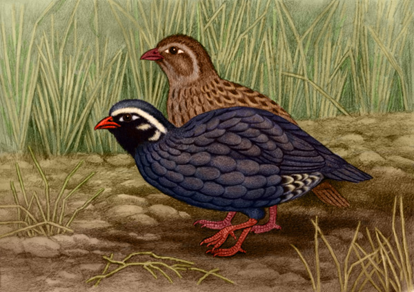 Himalayan Quail by Willem.