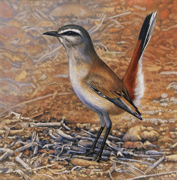 Kalahari Scrub Robin by Willem