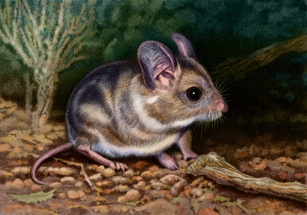 Large-Eared Mouse by Willem