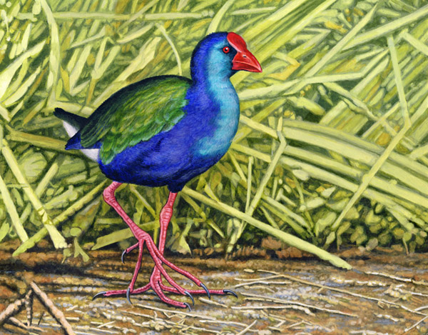 African Purple Swamphen by Willem