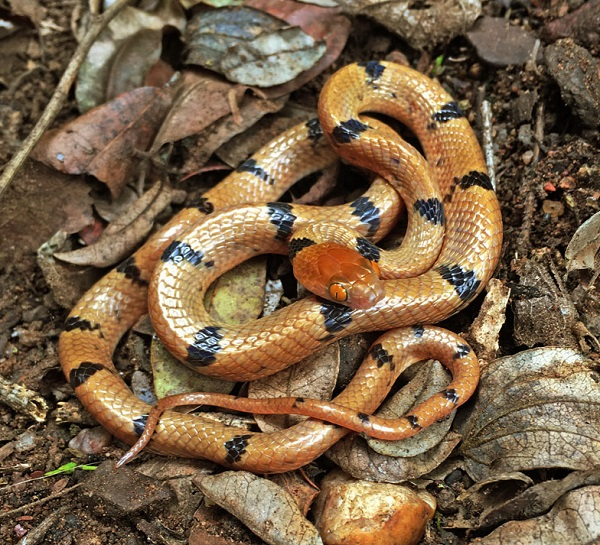 Tiger Snake by Willem