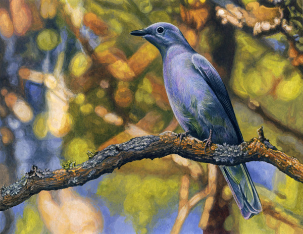 Grey Cuckooshrike by Willem