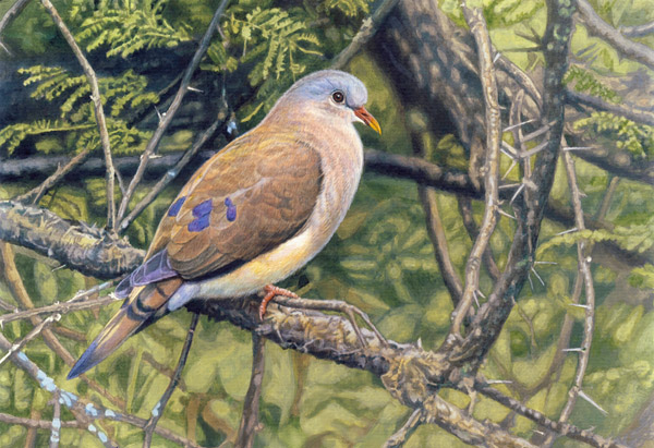 Blue Spotted Wood Dove by Willem