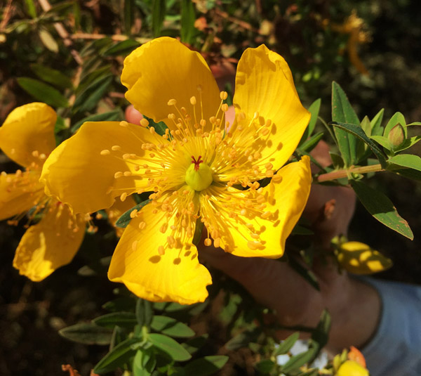 Curry Bush Flower by Willem