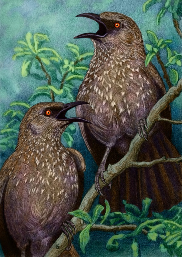 Two Arrowmarked Babblers by Willem.