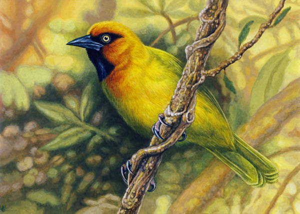 Spectacled Weaver by Willem.