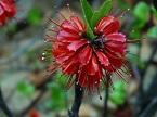 Greyia radlkoferi flowerhead