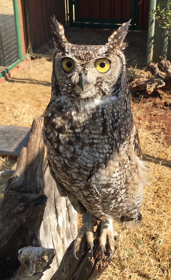 A spotted eagle owl being rehabbed on the Whelmi Chalmers farm in South Africa. Courtesy of Willem.