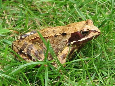 A European common frog.