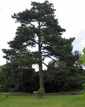 A Corsican Pine tree