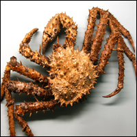 A northern stone crab (Lithodes maia).