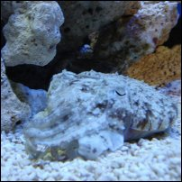 Cuttlefish in camouflage mode.