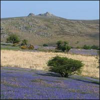 A lawn of bluebells on Dartmoor with Hound Tor in the distance.
