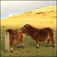A pair of rusty-coloured Dartmoor ponies.