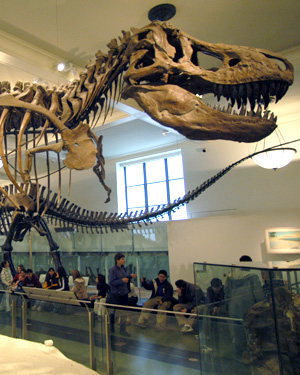 T Rex bones in the Museum of Natural History, New York