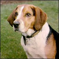A beagle sitting.