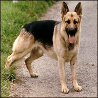 A German Shepherd dog.