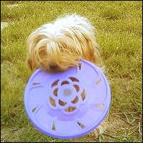 A dog called Jena with a lilac frisbee.
