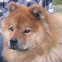 A Eurasier dog.