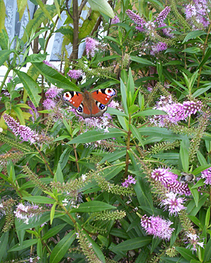 A European peacock butterfly in a garden