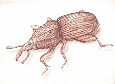A close up of a flour weevil.