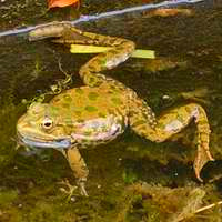 A common frog in a pool.