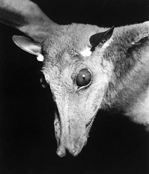 A fruit bat.