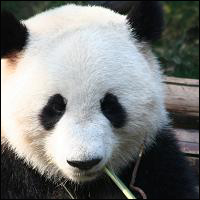 A giant panda chewing on bamboo.