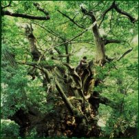 The Tortworth Chestnut, the oldest planted sweet chestnut tree in England, thought to have existed in King John's reign.