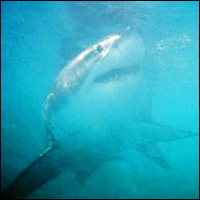 A Great White shark swimming towards a brave photographer.