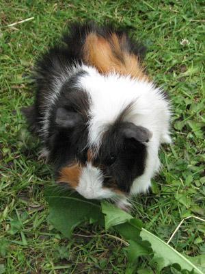 A guinea pig eating a dandelion leaf.