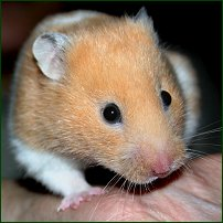 A friendly hamster in the palm of its owner's hand.