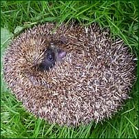 A hedgehog curled into a defensive position.