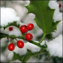 Holly in winter.