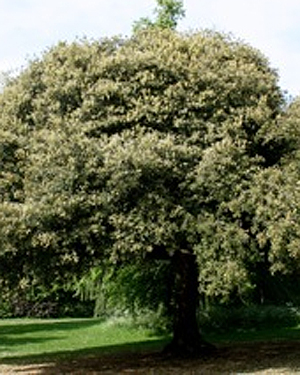 A Holm Oak tree