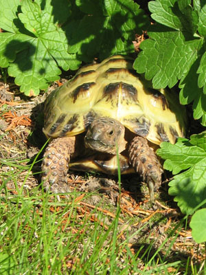 Horsfield or Russian tortoise.