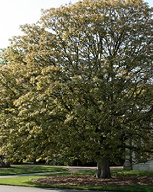 An Indian Horse Chestnut tree
