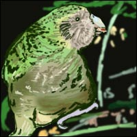 A big, fat, green parrot - the kakapo.