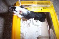 A pet mouse