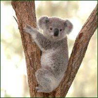 A koala.'
