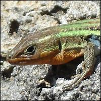 A lizard.