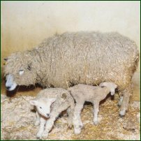 A sheep and her lambs.