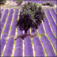 A field of purple lavender in the South of France.