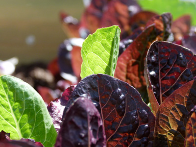 Some leaves of red and green lettuce.
