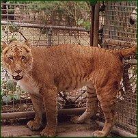 A liger.