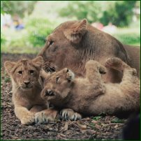 A pair of lion cubs with their mother.