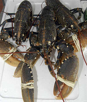 A tray of lobsters.